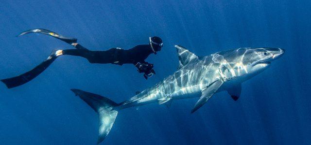 great-white-shark-3d